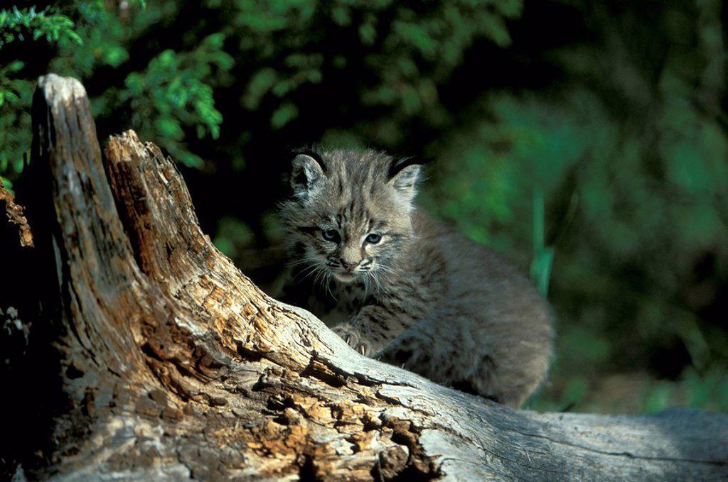 Stock Photo: 4133-21855 Bobcat,Lynx rufus,Montana,USA