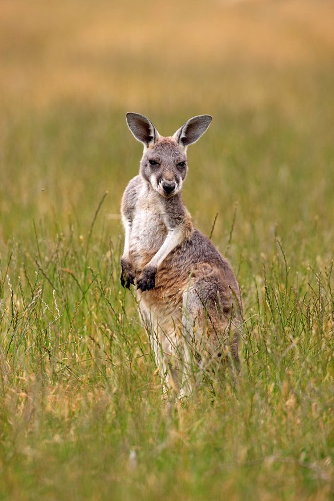 Eastern Grey Kangaroo,Macropus giganteus,Australia : Stock Photo