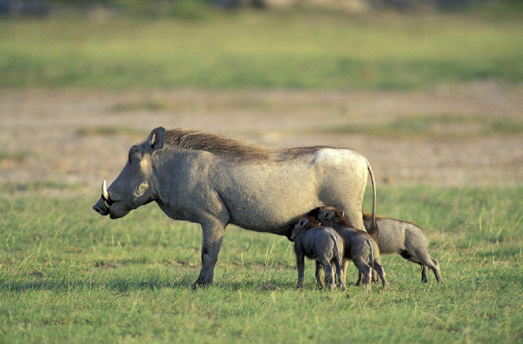 Stock Photo: 4133-22021 Warthog , Phacochoerus aethiopicus , Amboseli National Park , Kenya , Africa