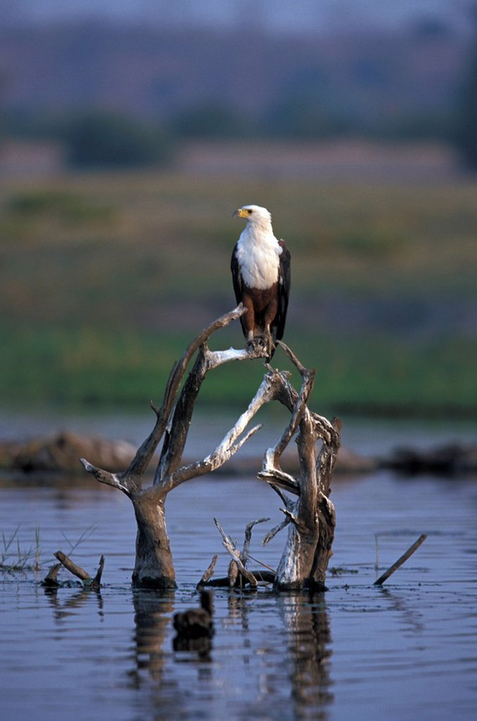Stock Photo: 4133-22119 African Fish Eagle,Haliaeetus vocifer,Chobe Nationalpark,Botswana,Africa