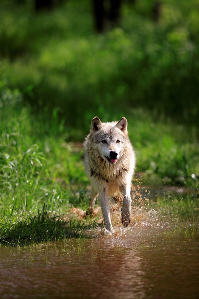 Stock Photo: 4133-22213 Gray Wolf,Grey Wolf,Canis lupus,Minnesota,USA