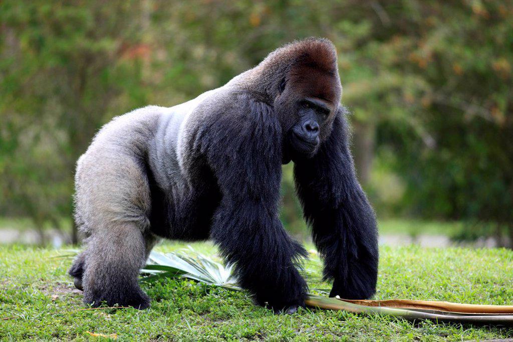 Stock Photo: 4133-22449 Lowland Gorilla,Gorilla gorilla,Africa