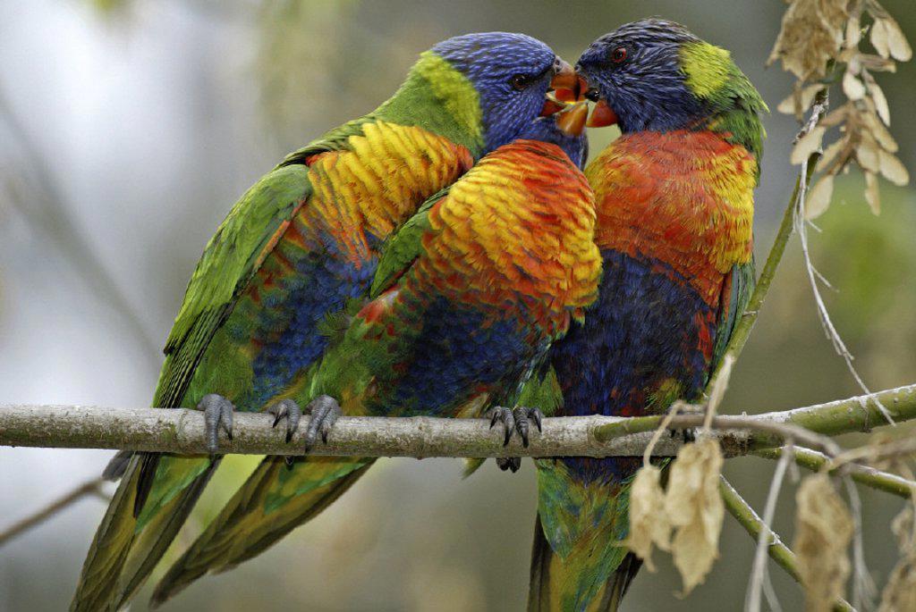 Rainbow Lorikeet Trichoglossus haematodus Australia : Stock Photo