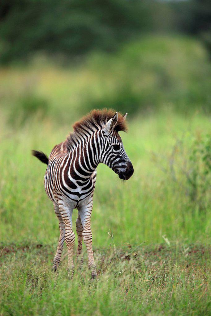 Stock Photo: 4133-22645 Plains Zebra,Burchell´s Zebra,Equus burchelli boehmi,Kruger Nationalpark,South Africa,Africa