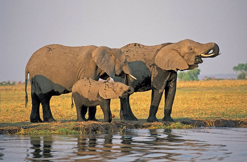 African Elephant Loxodonta africana Chobe Nationalpark Botswana Africa : Stock Photo