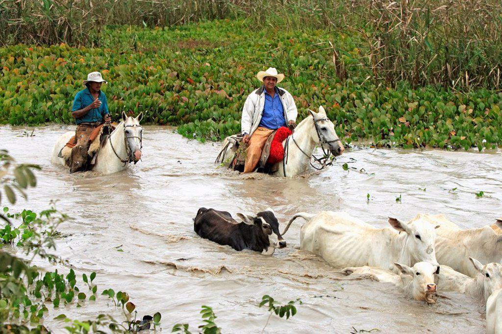 Stock Photo: 4133-22767 Pantanal Cowboy,Pantaneiro,Horse,Pantaneiro Horse,Pantanal,Brazil