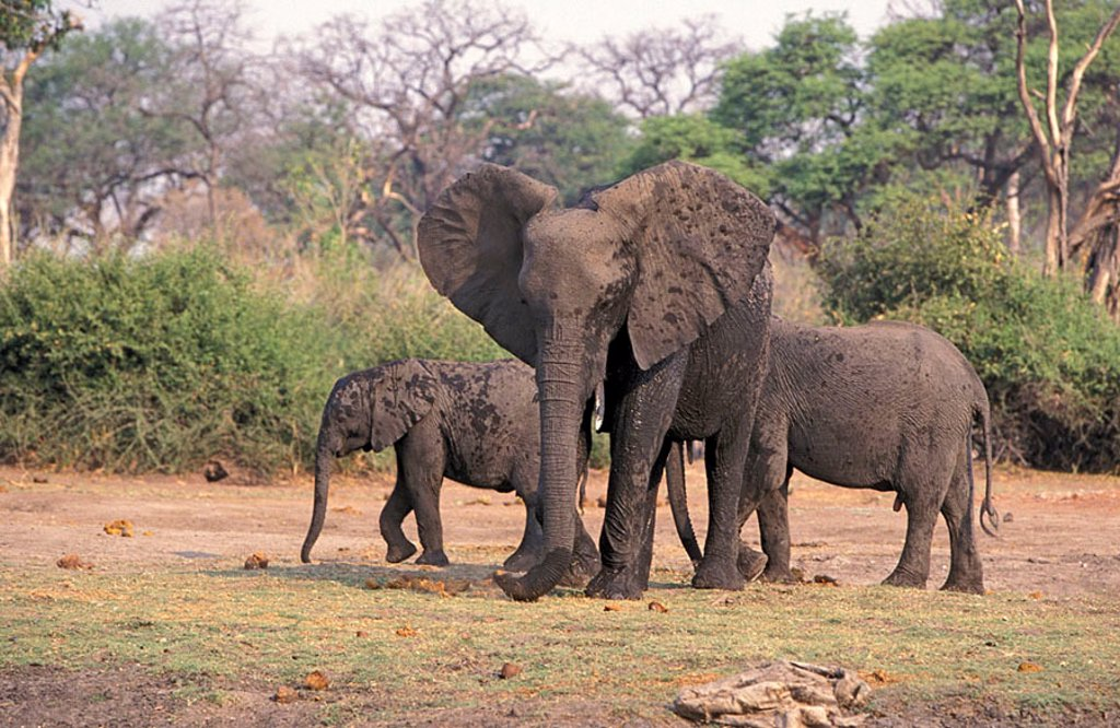 Stock Photo: 4133-22916 African Elephant Loxodonta africana Chobe Nationalpark Botswana Africa
