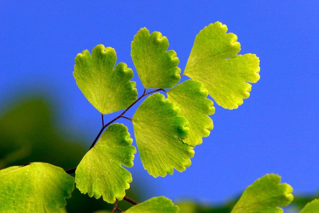Stock Photo: 4133-23002 Maidenhair Fern Adiantum raddianum Germany