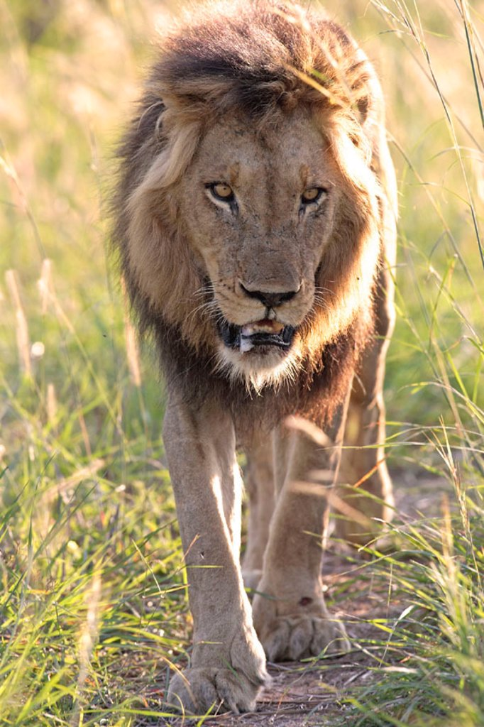 Stock Photo: 4133-23041 Lion, Panthera leo, Sabie Sand Game Reserve, South Africa , Africa