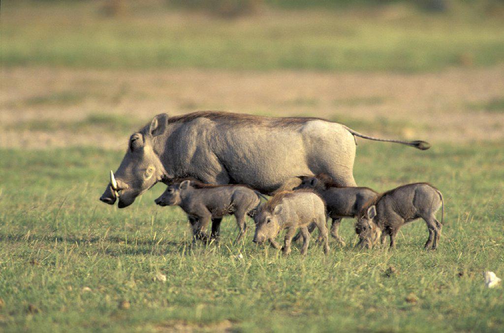 Stock Photo: 4133-23125 Warthog , Phacochoerus aethiopicus , Amboseli National Park , Kenya , Africa