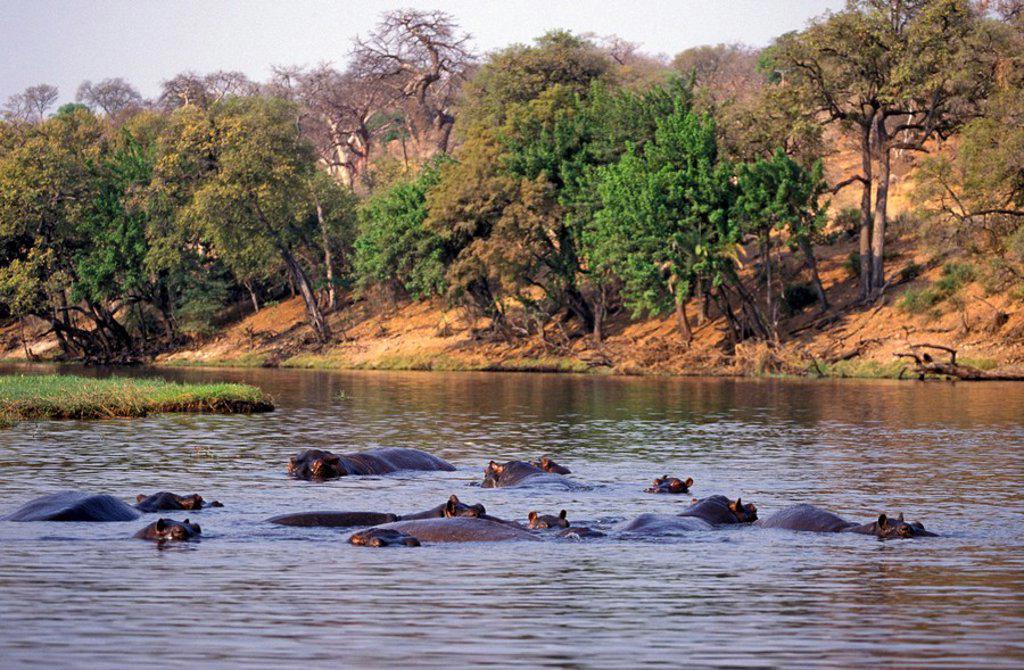 Stock Photo: 4133-23366 Hippopotamus,Hippopatamus amphibius,Chobe Nationalpark,Botswana,Africa