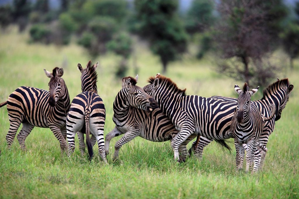 Stock Photo: 4133-23510 Plains Zebra,Burchell´s Zebra,Equus burchelli boehmi,Kruger Nationalpark,South Africa,Africa