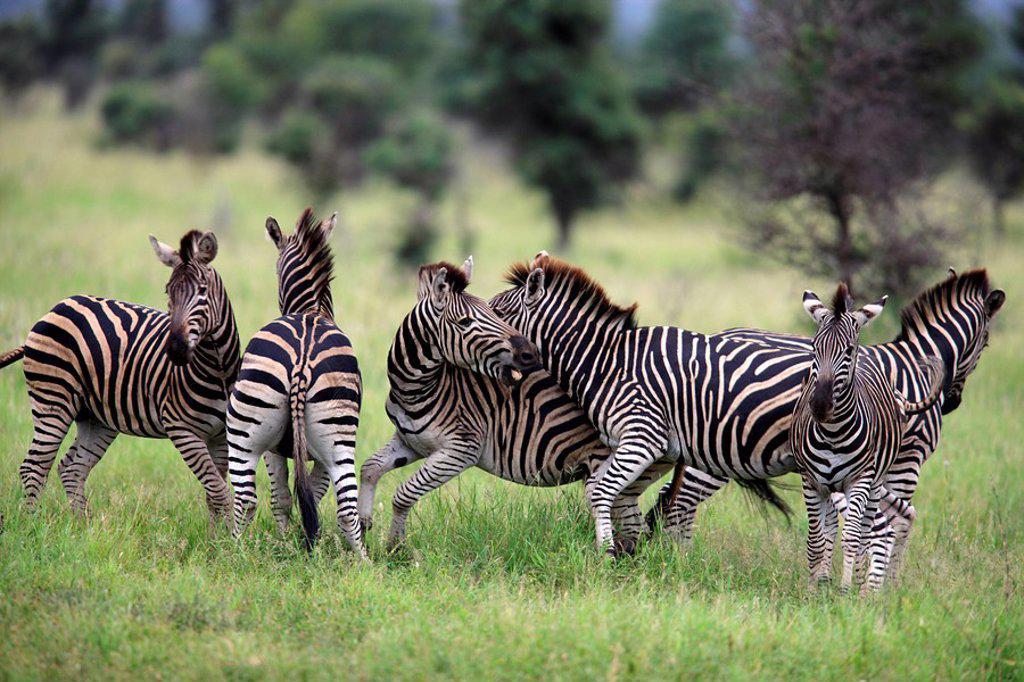 Plains Zebra,Burchell´s Zebra,Equus burchelli boehmi,Kruger Nationalpark,South Africa,Africa : Stock Photo