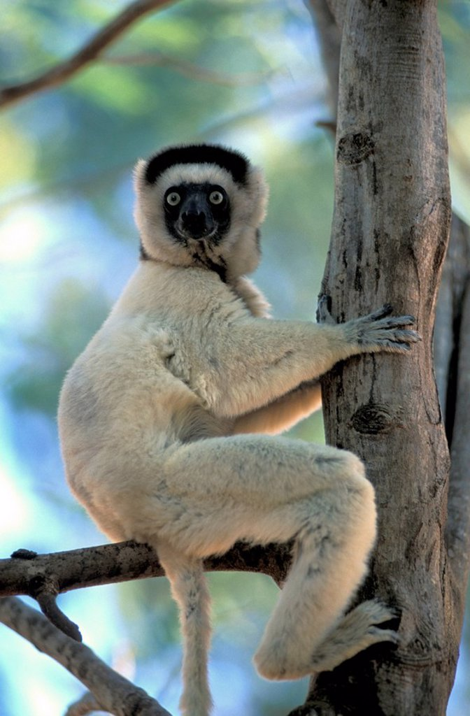 Stock Photo: 4133-23594 Verreaux`s Sifaka,Propithecus verreauxi,Berenty Game Reserve,Madagascar,Africa