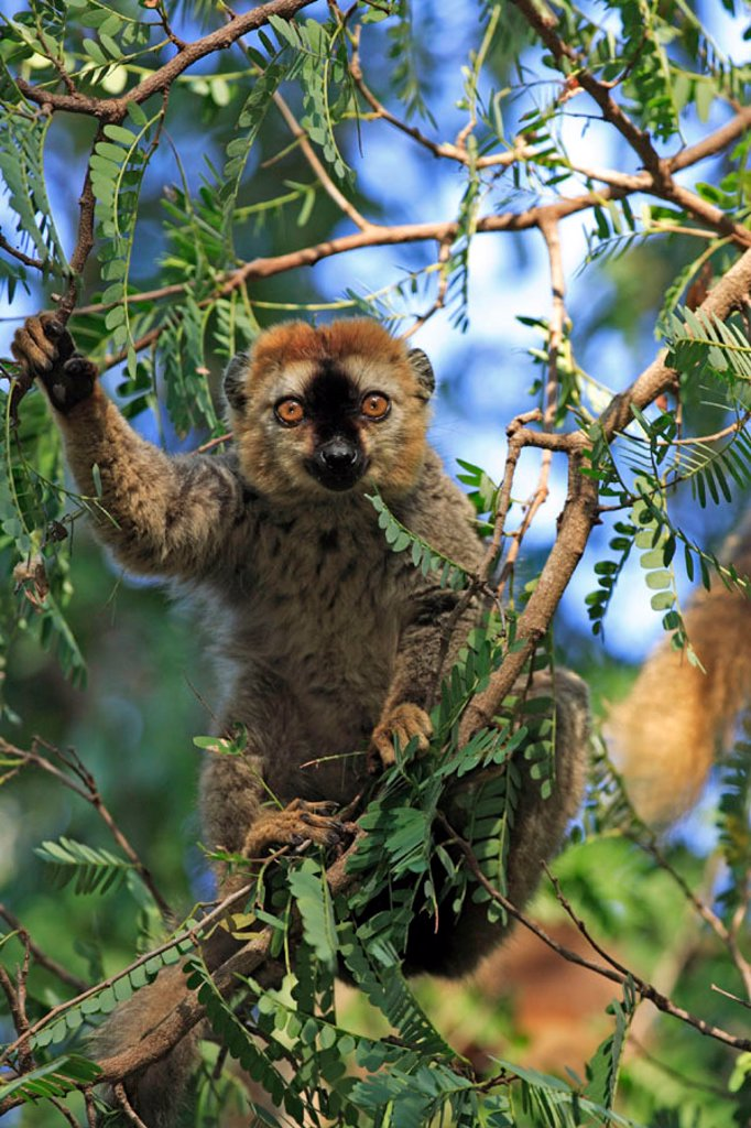 Stock Photo: 4133-23903 Red Fronted Lemur, Lemur fulvus rufus, Berenty Game Reserve, Madagascar