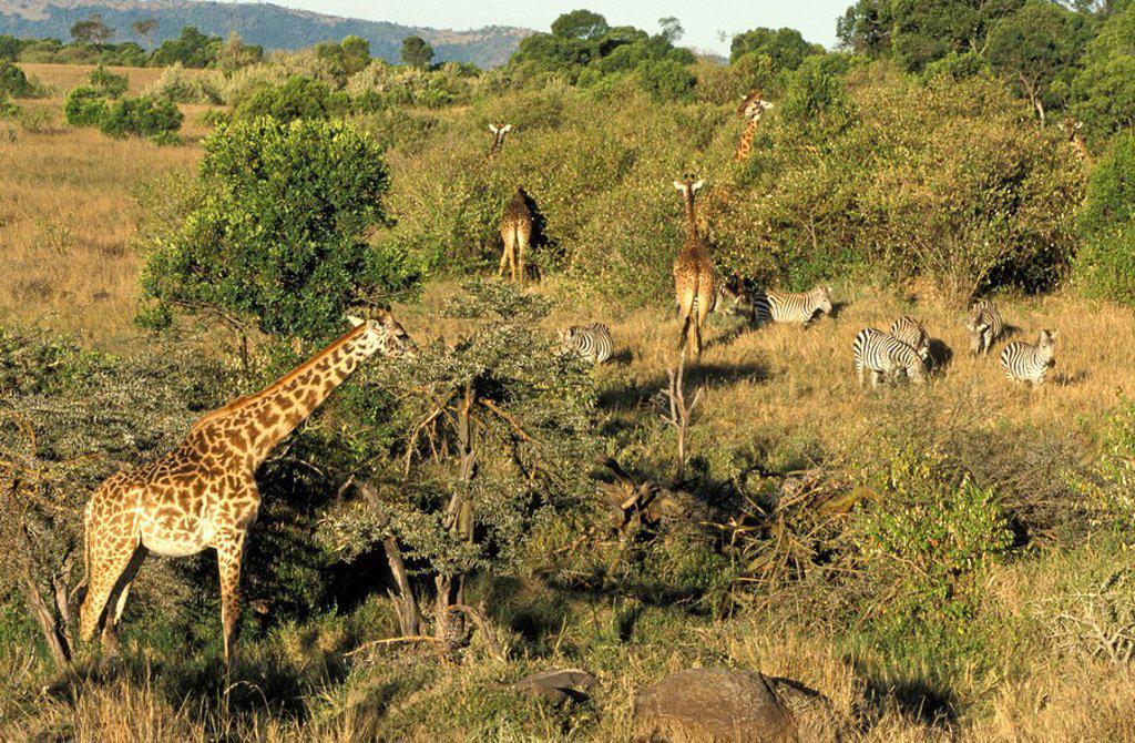 Stock Photo: 4133-24001 Giraffe,Giraffa c. tippelskirchi,Masai Mara,Kenya,Africa