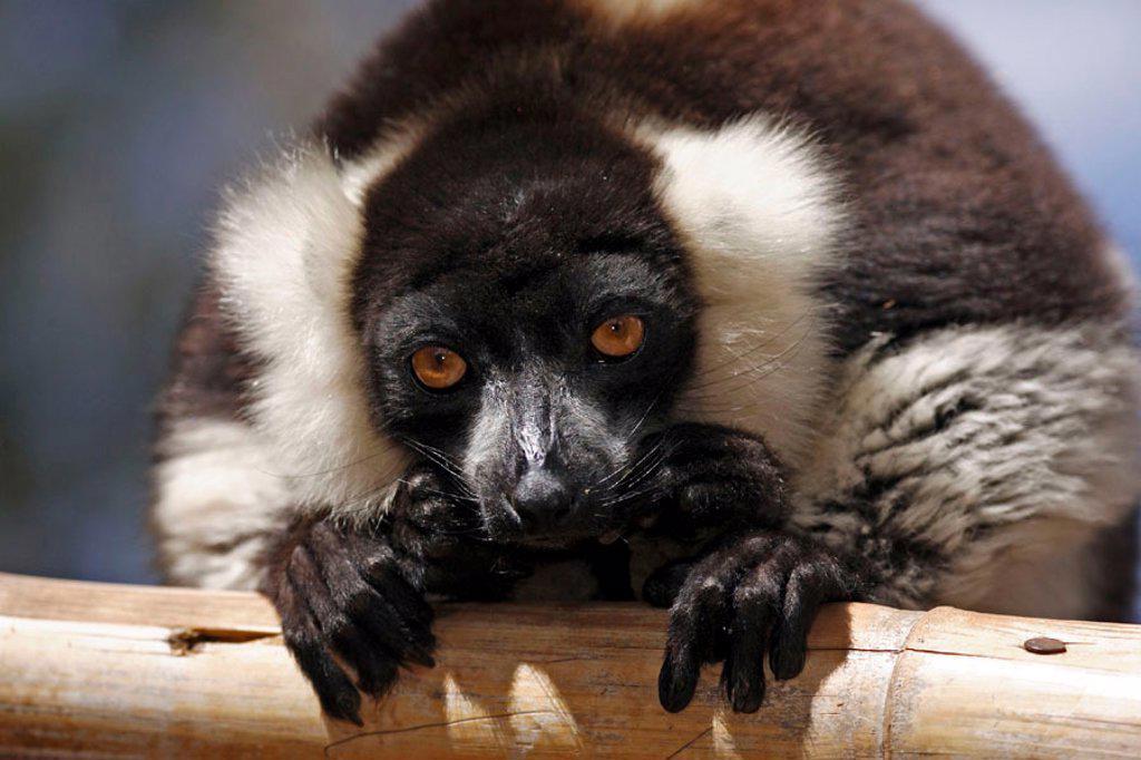 Black and White Ruffed Lemur, Lemur variegatus variegatus, lemurs, animal, animals, mammal, mammals, primate, primates, Nature, outdoor, outdoors, wild, wildlife, zoology, Perinet , Andasibe, Madagascar : Stock Photo