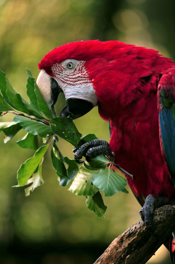 Stock Photo: 4133-24159 Red Blue and Green Macaw,Ara chloroptera,South America