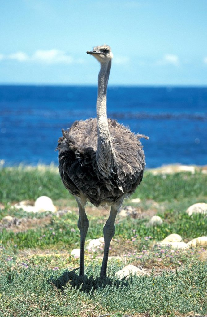 Stock Photo: 4133-24229 South African Ostrich,Struthio camelus australis,Cape of the good Hope Nationalpark,South Africa,Africa