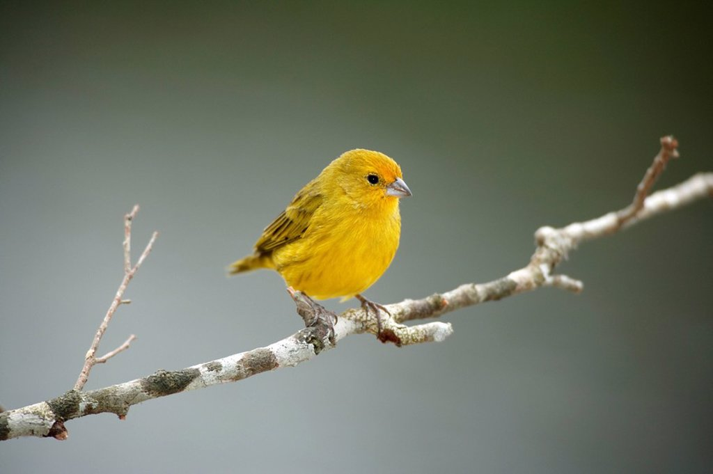 Stock Photo: 4133-24361 Saffron Finch,Sicalis flaveola,Pantanal,Brazil