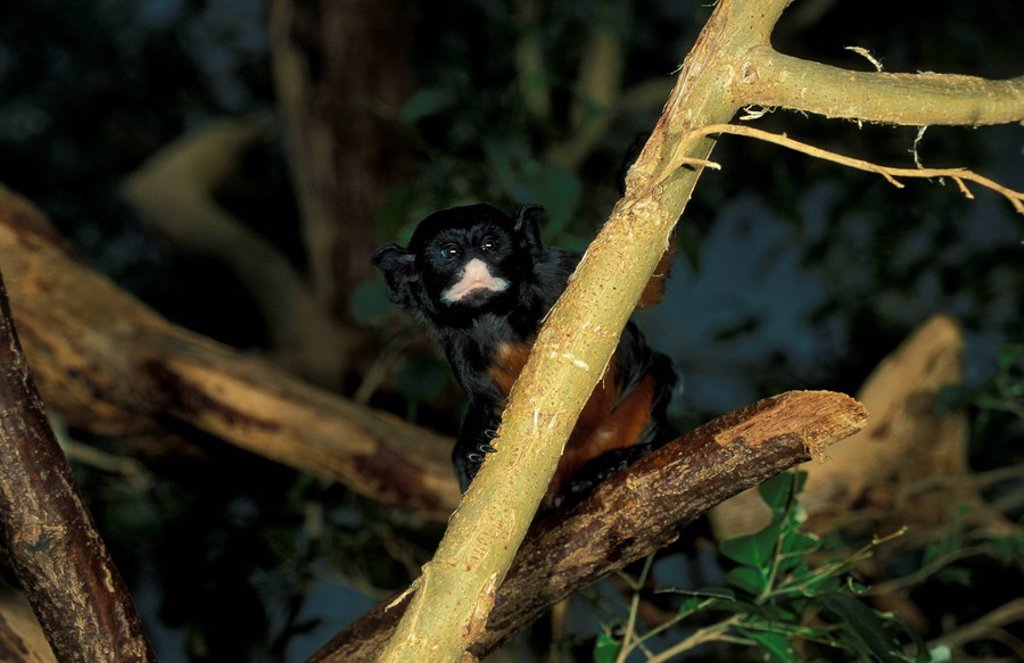 Stock Photo: 4133-24418 Red Bellied Tamarin,Saguinus labiatus,South America