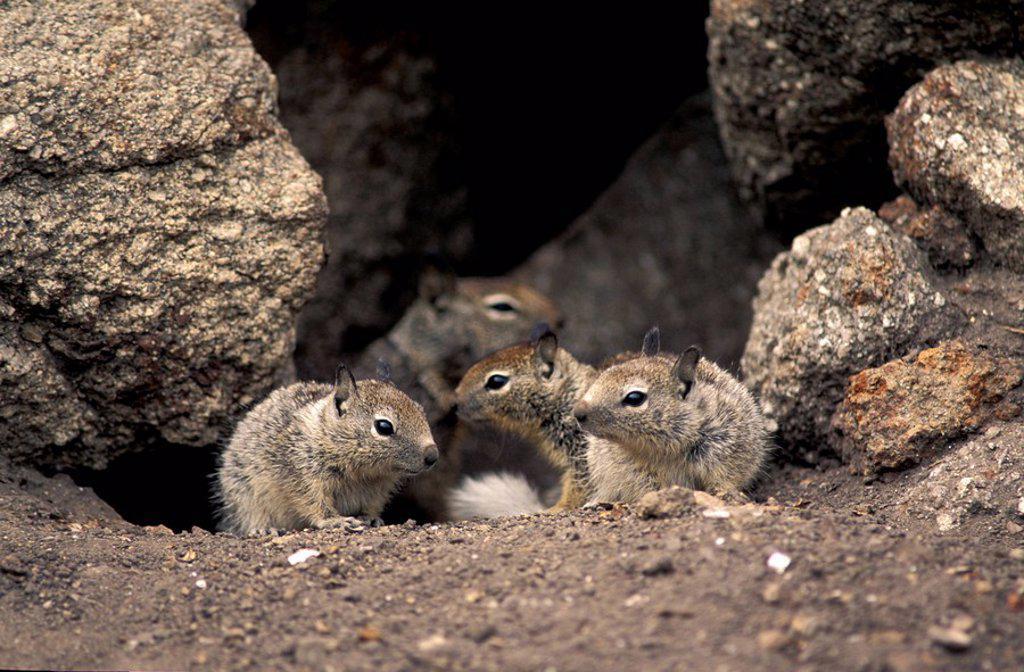 California Ground Squirrel,Citellus beecheyi,Monterey,California,USA : Stock Photo