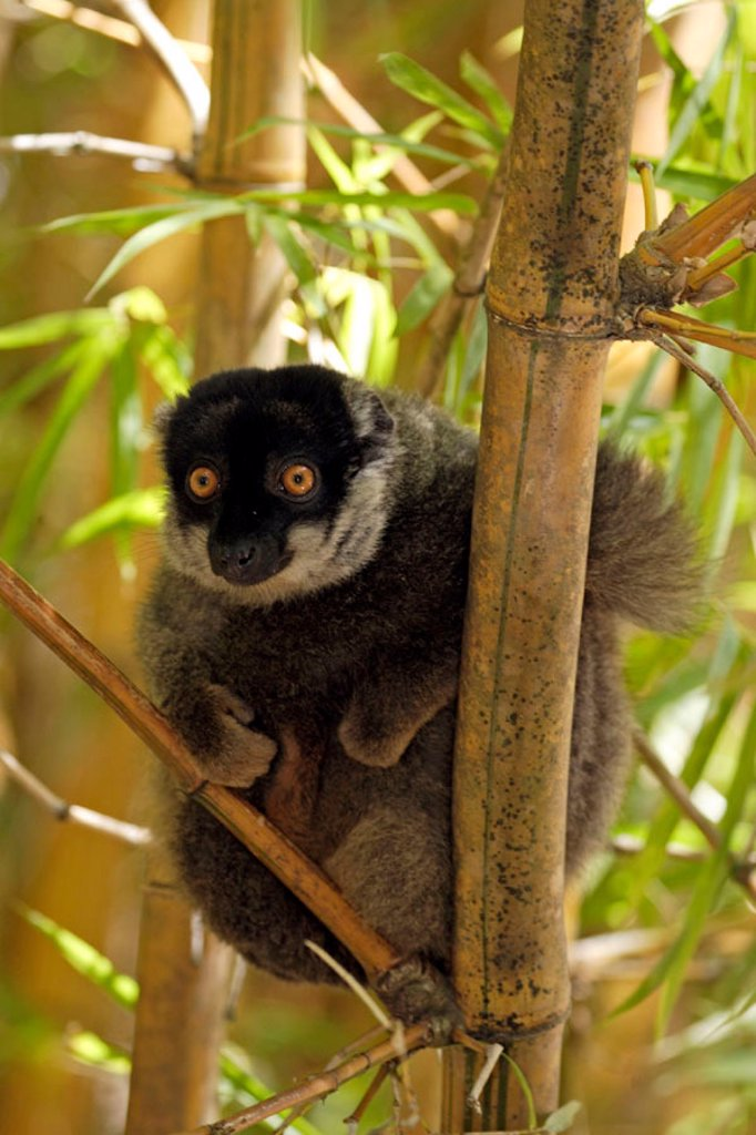 Common Brown Lemur, Eulemur fulvus fulvus, Madagascar : Stock Photo