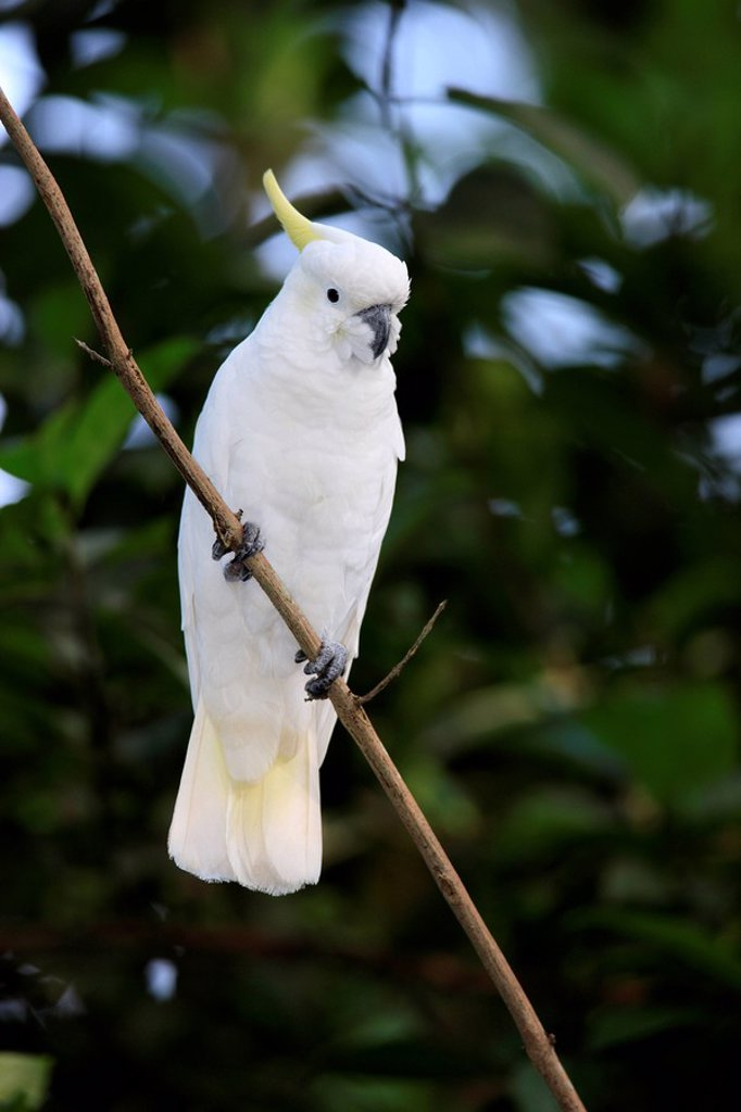 Stock Photo: 4133-24573 Sulfur crested Cockatoo,Cacatua galerita,Australia
