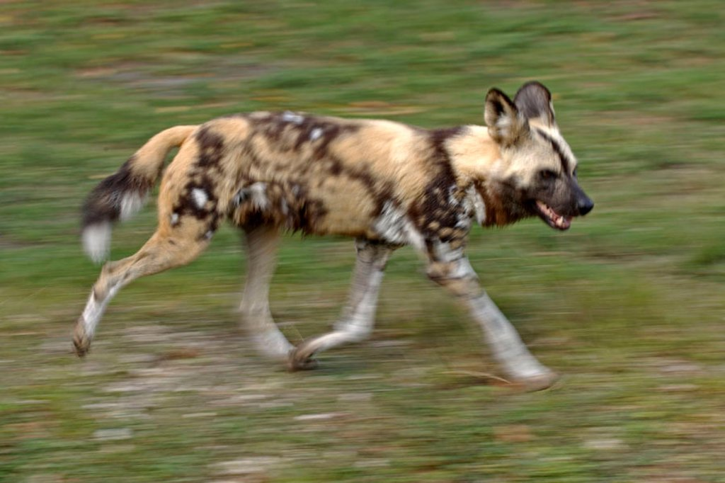 Stock Photo: 4133-24700 African Wild, Dog Lycaon pictus, Africa