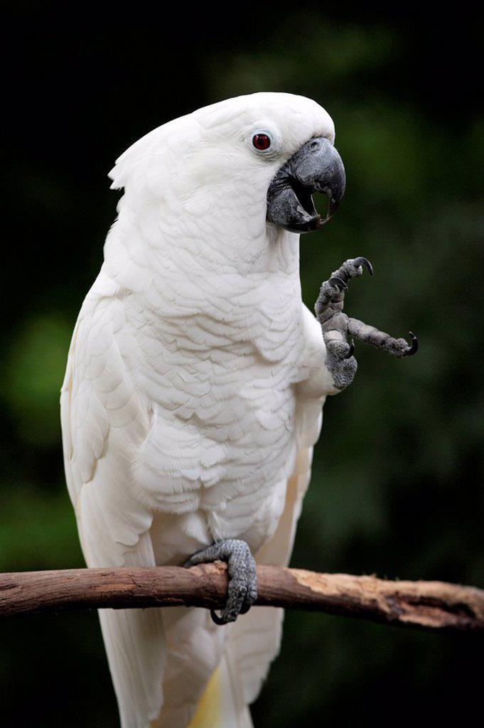 White Cockatoo,Cacatuo alba,Florida,USA : Stock Photo