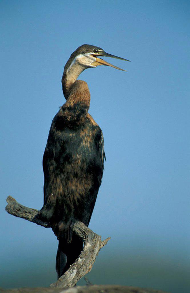 Stock Photo: 4133-24797 African Darter, Anhinga rufa, Pilanesberg Nationalpark, South Africa