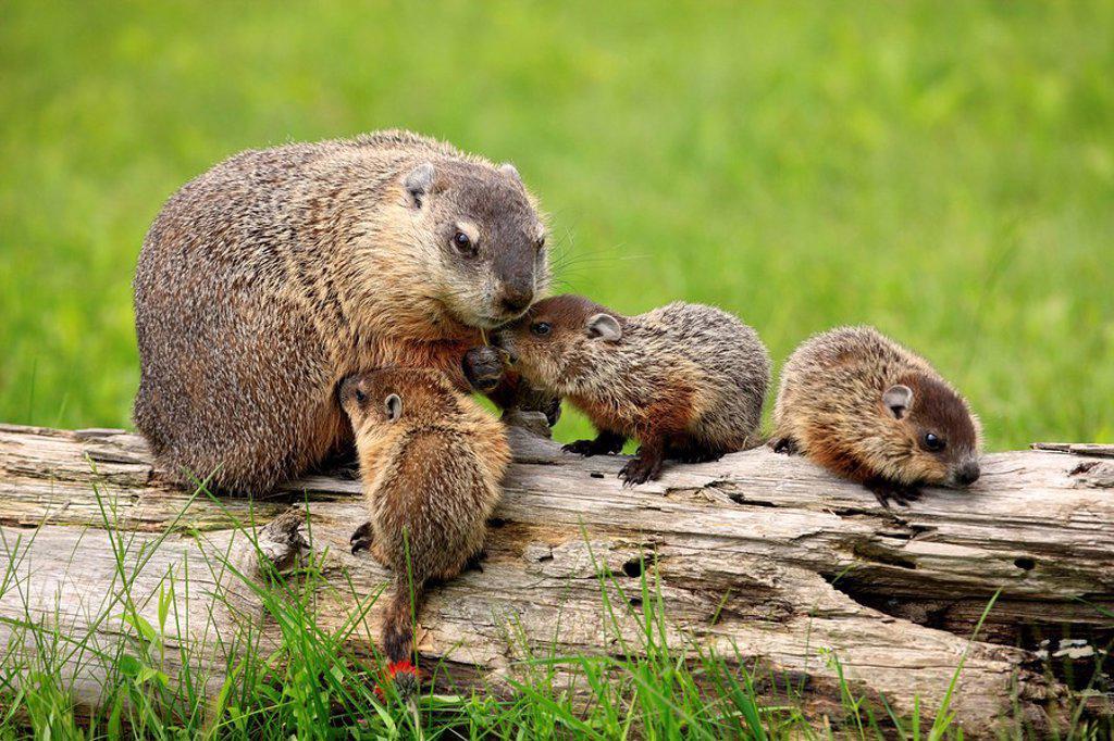 Woodchuck Groundhog Marmota Monax Minnesota Usa Stock