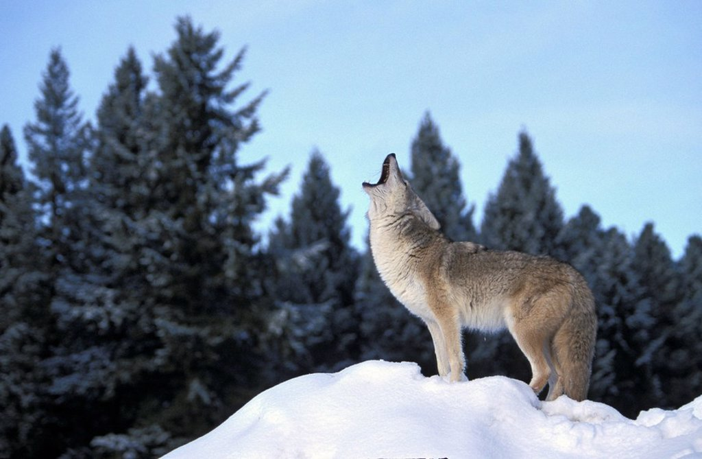 Coyote,Canis latrans,Montana,USA : Stock Photo
