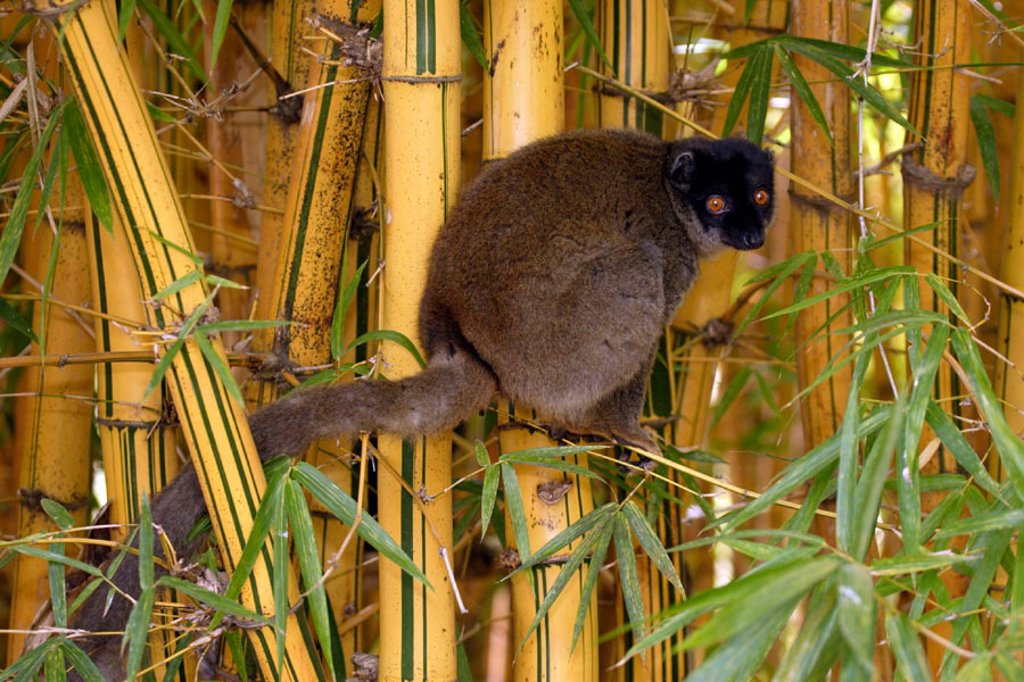 Stock Photo: 4133-25494 Common Brown Lemur, Eulemur fulvus fulvus, Madagascar
