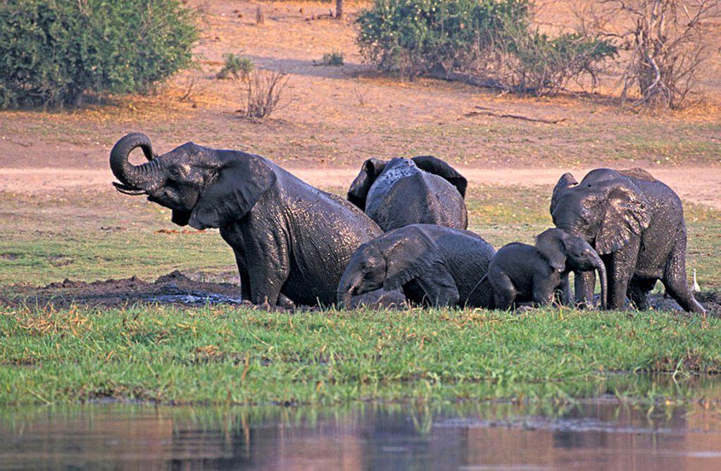 Stock Photo: 4133-25575 African Elephant Loxodonta africana Chobe Nationalpark Botswana Africa