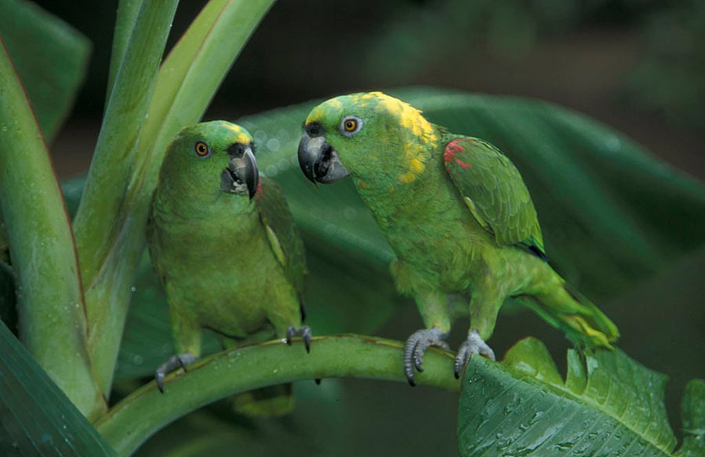 Stock Photo: 4133-25621 Yellow naped Amazon Amazona auropalliata South America