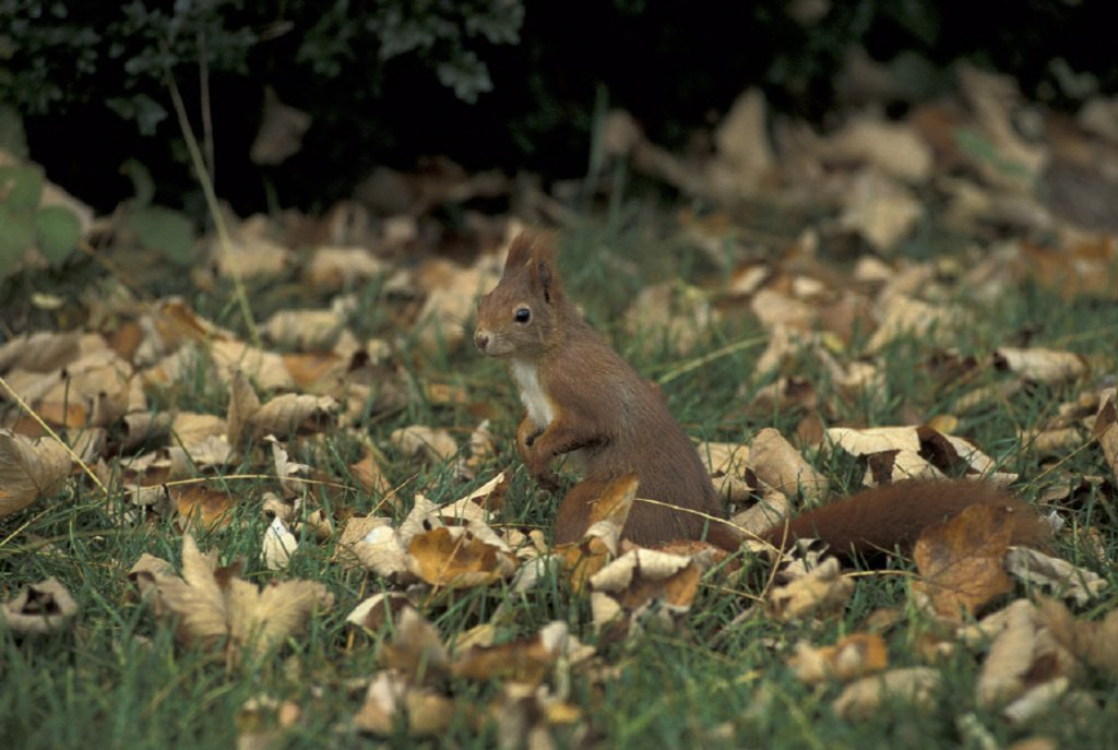 Stock Photo: 4133-25640 Red Squirrel , Sciurus vulgaris , Germany