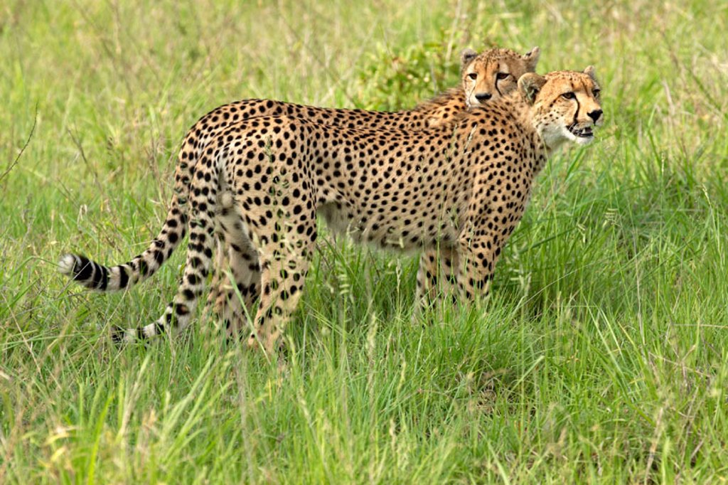 Cheetah, Acinonyx jubatus, Sabie Sand Game Reserve, South Africa , Africa : Stock Photo