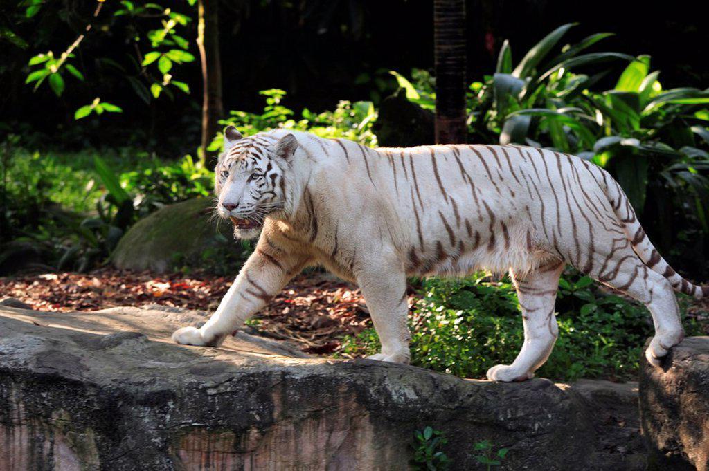 Stock Photo: 4133-25706 White Indian Tiger,Panthera tigris tigris,India