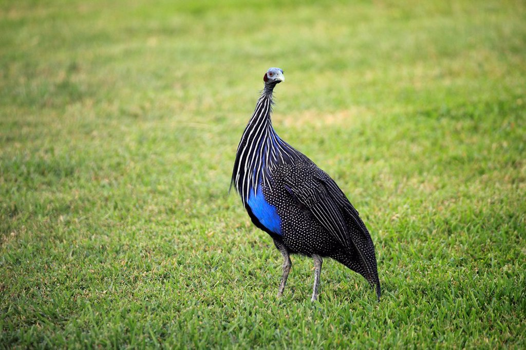 Stock Photo: 4133-25761 Vulturine Guinea Fowl,Acryllium vulturinum,Africa