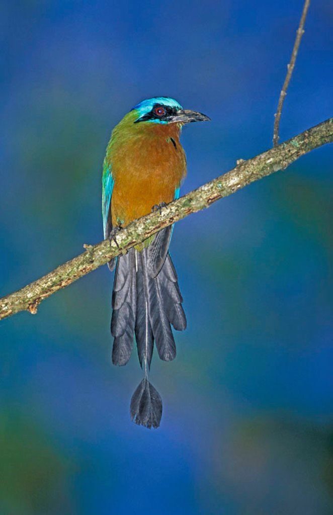 Blue Crowned Motmot Momotus momota Tobago Caribean : Stock Photo