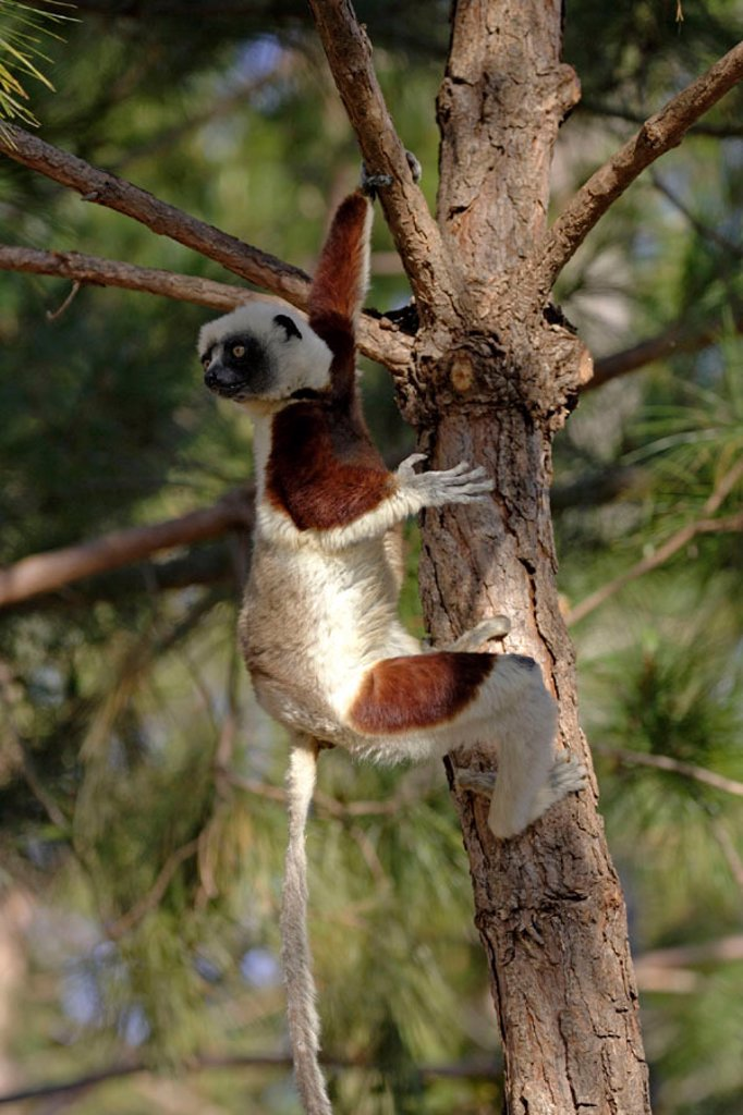 Stock Photo: 4133-26018 Verreaux`s Sifaka, Propithecus verreauxi coronatus, Madagascar