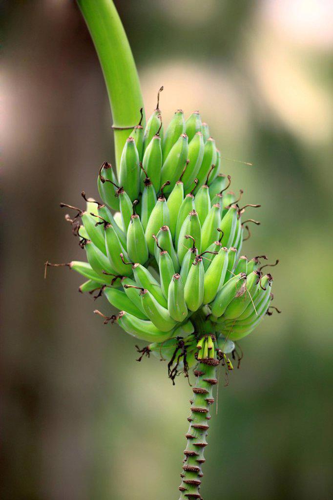 Stock Photo: 4133-26057 Banana,Plant Musa x paradisiaca,bananas,South Africa,Africa