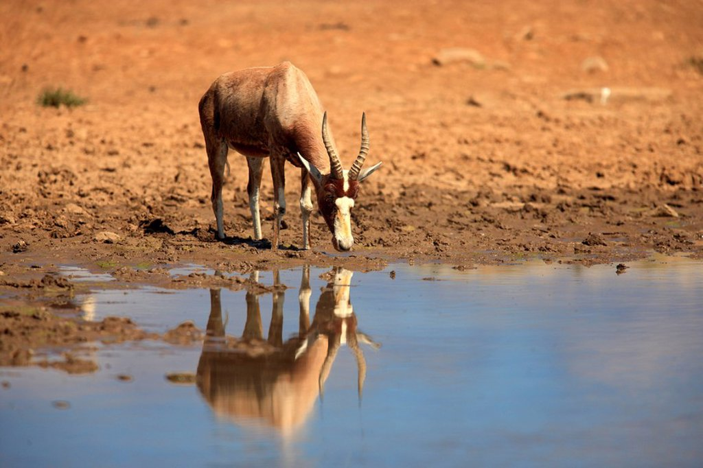 Stock Photo: 4133-26060 Bontebok,Damaliscus dorcas dorcas,Mountain Zebra Nationalpark,South Africa,Africa