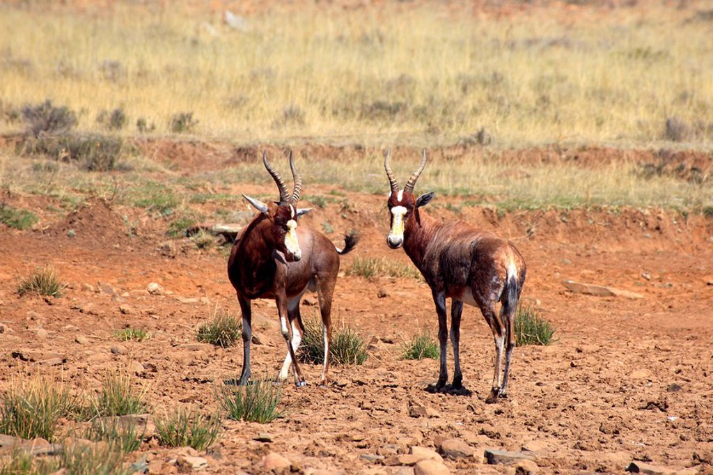 Stock Photo: 4133-26062 Bontebok,Damaliscus dorcas dorcas,Mountain Zebra Nationalpark,South Africa,Africa