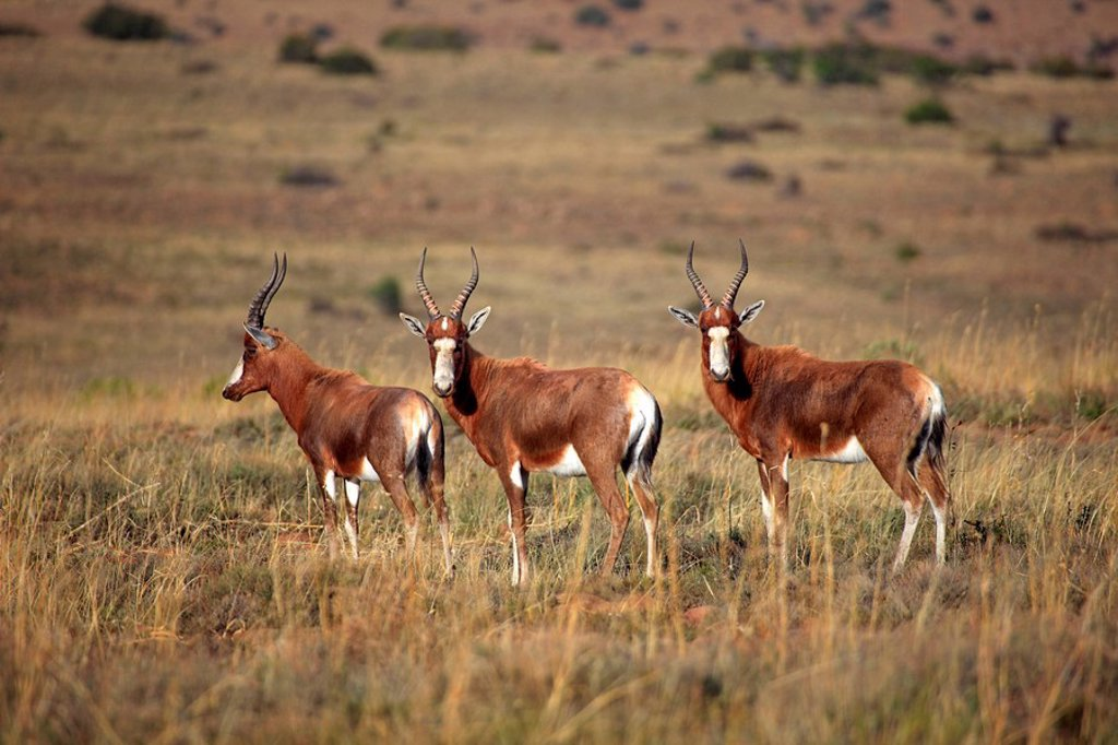 Stock Photo: 4133-26160 Bontebok,Damaliscus dorcas dorcas,Mountain Zebra Nationalpark,South Africa,Africa