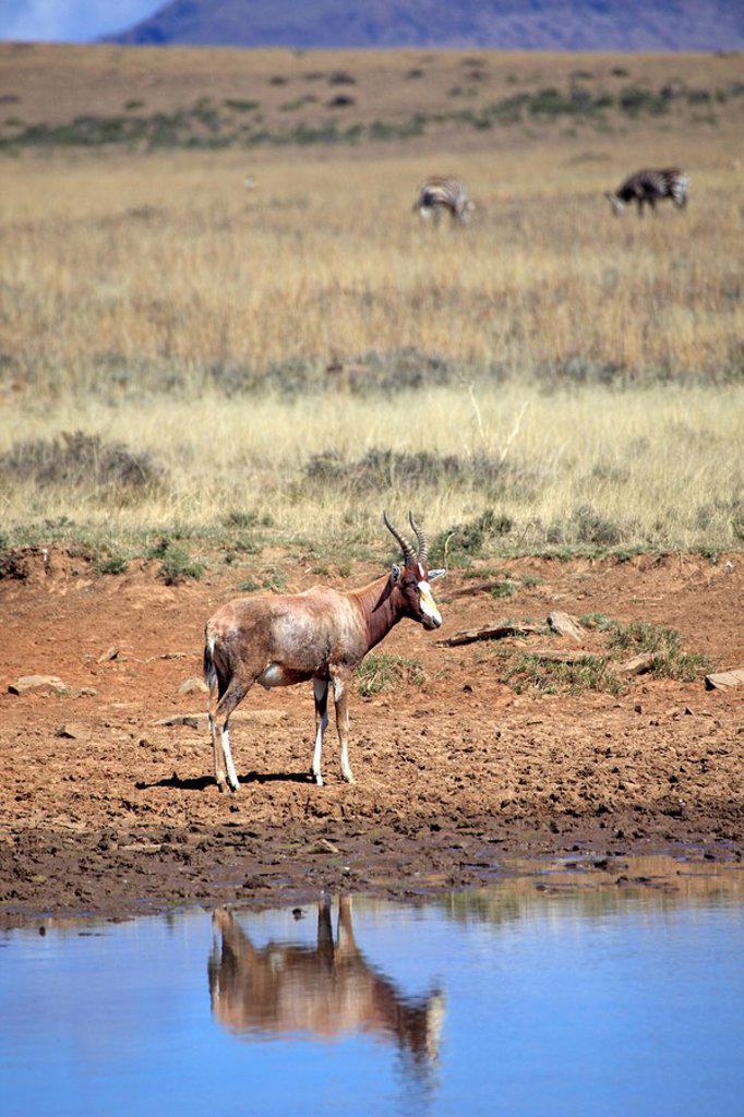 Bontebok,Damaliscus dorcas dorcas,Mountain Zebra Nationalpark,South Africa,Africa : Stock Photo