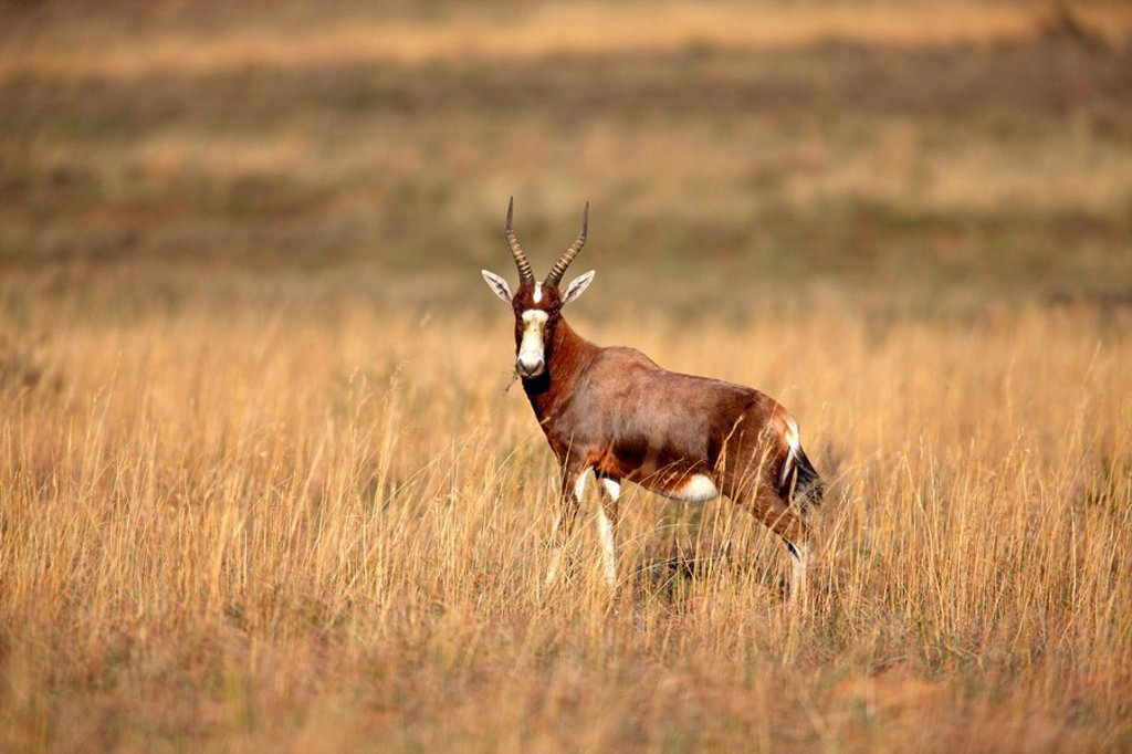 Stock Photo: 4133-26258 Bontebok,Damaliscus dorcas dorcas,Mountain Zebra Nationalpark,South Africa,Africa