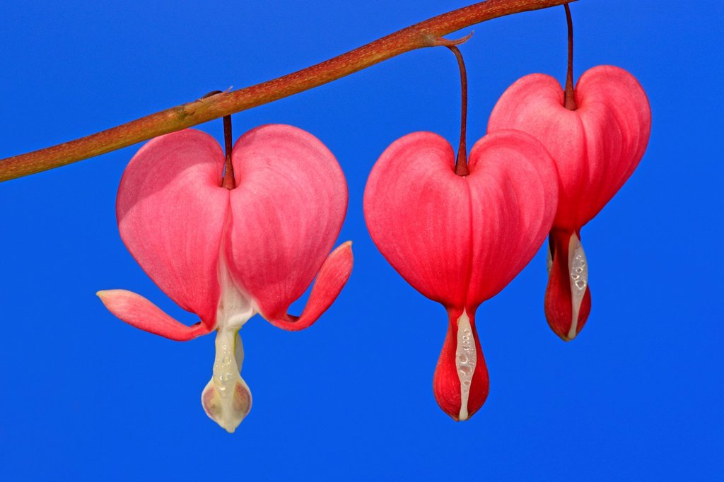 Stock Photo: 4133-26403 Bleeding heart,Dicentra spectabilis,Ellerstadt,Germany,Europe