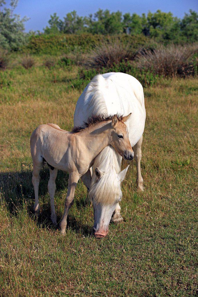 Stock Photo: 4133-26503 Camargue Horse,Equus caballus,Saintes Marie de la Mer,France,Europe,Camargue,Bouches du Rhone